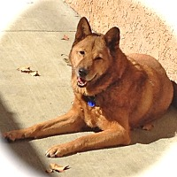 Jindo Dog for adoption in Burbank, California - Good-looking Diesel