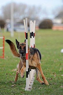 German Shepherd Dog Dog for adoption in Woodinville, Washington - DONATIONS: AGILITY EQUIPMENT