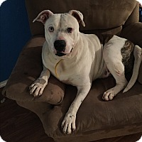 Adopt A Pet :: Dally - Dallas, TX