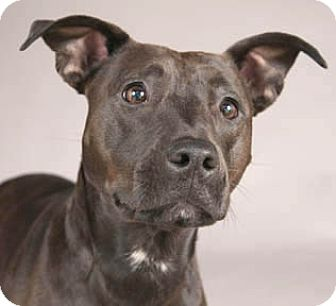 American Pit Bull Terrier Mix Dog for adoption in Libertyville, Illinois - Madison