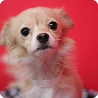 Chihuahua Mix Dog for adoption in Phoenix, Arizona - holly