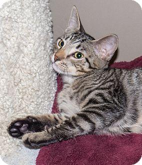 Domestic Shorthair Kitten for adoption in Elmwood Park, New Jersey - Oscar