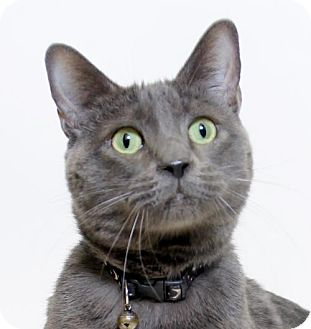 Domestic Shorthair Cat for adoption in Truckee, California - Whiskers