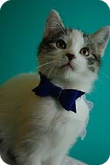 Domestic Shorthair Kitten for adoption in THORNHILL, Ontario - Stroman