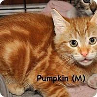 Adopt A Pet :: Pumpkin - West Orange, NJ