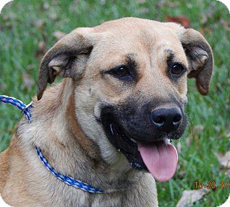 Anatolian Shepherd/Great Pyrenees Mix Puppy for adoption in Burlington, Vermont - Lila (55 lb) Video!