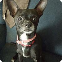 Adopt A Pet :: Elvis - Grand Ledge, MI