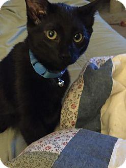 Domestic Shorthair Kitten for adoption in Rochester Hills, Michigan - Blaze