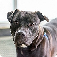 American Pit Bull Terrier Mix Dog for adoption in Berkeley, California - Nero