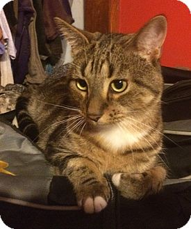 Domestic Shorthair Cat for adoption in Whiting, Indiana - Max