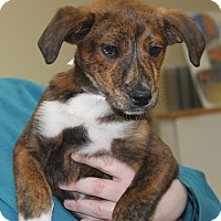 Adopt A Pet :: Dante-Plott Hound Mix - Philadelphia, PA