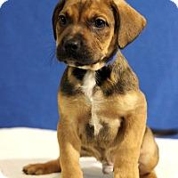 Adopt A Pet :: Marshall - Waldorf, MD