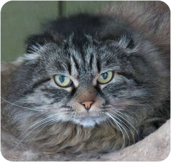 Scottish Fold Cat for adoption in Davis, California - Foldimort