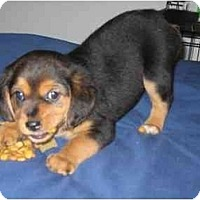 Adopt A Pet :: Lightening - Novi, MI