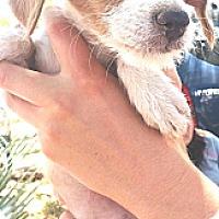 Adopt A Pet :: India - Phoenix, AZ