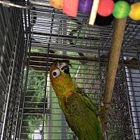 Adopt A Pet :: Gummy Bear - Punta Gorda, FL