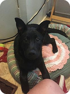 Labrador Retriever/Hound (Unknown Type) Mix Dog for adoption in Columbia, South Carolina - Marley
