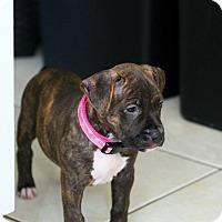 Adopt A Pet :: Jolly - Ft. Myers, FL