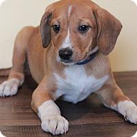 Adopt A Pet :: Han Solo - Waldorf, MD