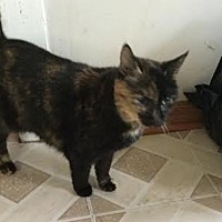 Domestic Shorthair Cat for adoption in Philadelphia, Pennsylvania - Coco