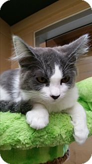 Domestic Mediumhair Kitten for adoption in Chula Vista, California - Neptune