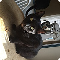 Domestic Shorthair Cat for adoption in Patterson, New York - Shadow