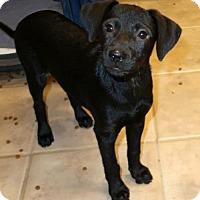Dachshund/Beagle Mix Puppy for adoption in Burbank, Ohio - Perla