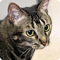 Domestic Shorthair Cat for adoption in Sarasota, Florida - Noche