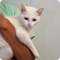 Domestic Shorthair Cat for adoption in DuQuoin, Illinois - Iris