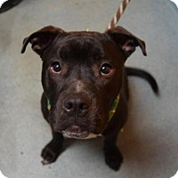 Adopt A Pet :: Chevy - Manhattan, NY