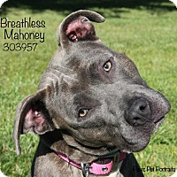 American Staffordshire Terrier/Terrier (Unknown Type, Medium) Mix Dog for adoption in Troy, Michigan - Breathless Mahoney