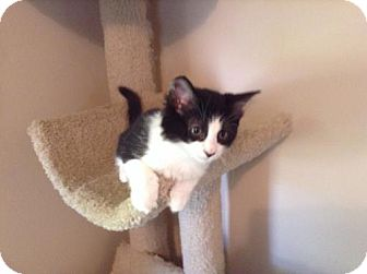 Domestic Shorthair Kitten for adoption in Parma, Ohio - Kyle