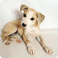 Adopt A Pet :: Hadley Girl Boxer Mix - St. Louis, MO