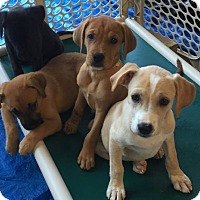 "Adopt A Pet :: The ""L"" Litter - Salem, MA"