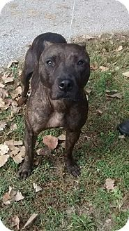 Pit Bull Terrier Mix Dog for adoption in St. Charles, Missouri - Missy