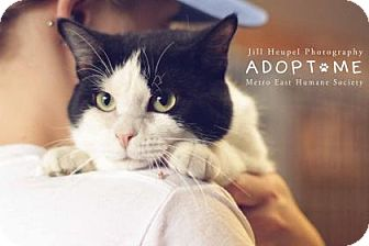 Domestic Shorthair Cat for adoption in Edwardsville, Illinois - Scarecrow
