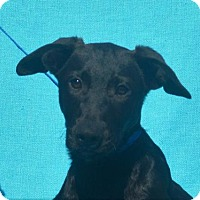 German Shepherd Dog/Labrador Retriever Mix Dog for adoption in Mukwonago, Wisconsin - **BURT** MEET DEC 17TH!