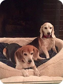 Beagle Dog for adoption in Birmingham, Alabama - Maggie and Lexi