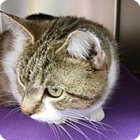 Domestic Shorthair Cat for adoption in Reisterstown, Maryland - Lily May