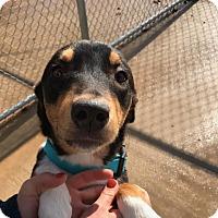Adopt A Pet :: Boston - Tulsa, OK
