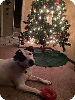 Pointer/Labrador Retriever Mix Dog for adoption in Overland Park, Kansas - Patches