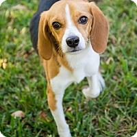 Adopt A Pet :: Guinness - Miami, FL