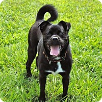 Boston Terrier Mix Dog for adoption in Norfolk, Virginia - ANDY