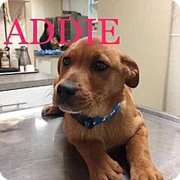 Adopt A Pet :: Addie - Valley Stream, NY