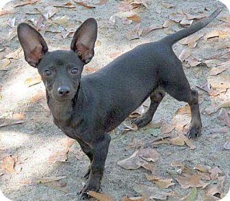 Dachshund/Chihuahua Mix Dog for adoption in Camden, South Carolina - Ainsley