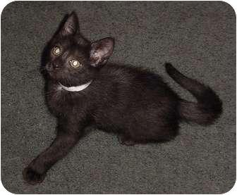 Domestic Shorthair Kitten for adoption in Franklin, North Carolina - Bear