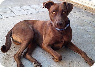 Labrador Retriever Dog for adoption in Vista, California - Cooper