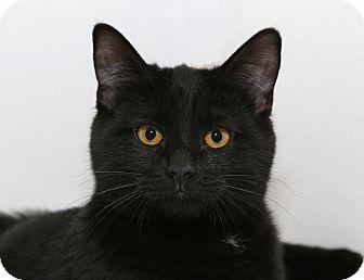 Domestic Mediumhair Cat for adoption in Yorba Linda, California - Paris