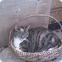Domestic Shorthair Cat for adoption in Sherman Oaks, California - Lyric - sponsor only
