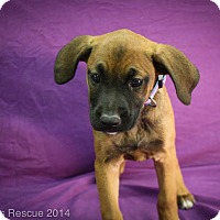 Adopt A Pet :: Dear Prudence - Broomfield, CO